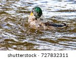 Small photo of Male duck swims on the river Saale and dives again and again