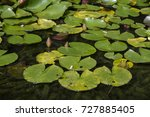 aquatic plant floating on the... | Shutterstock . vector #727885405