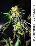 marijuana plant  growing pot ... | Shutterstock . vector #727923349