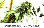 marijuana plant  growing... | Shutterstock . vector #727974565