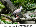 Australian Crested Pigeon On...