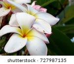 white plumeria flowers | Shutterstock . vector #727987135