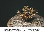 Small photo of Ceraria Pygmaea succulent plant