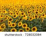 Sunflowers Field Near Arles  I...