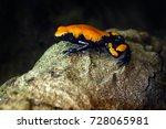 Small photo of Splash-Backed Poison Frog, Adelphobates galactonotus, orange black poison frog, tropic jungle. Small Amazon frog, nature habitat. Wildlife scene, Brazil. River animal, wet stone in rain. Forest.