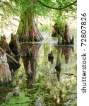 Cypress Tree And Knees In A...