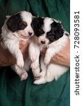 two little puppies of papillon... | Shutterstock . vector #728093581