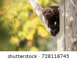 majestic wolverine hang on a... | Shutterstock . vector #728118745
