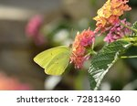 Clouded Sulphur Butterfly ...