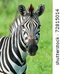 zebra | Shutterstock . vector #72815014