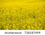 colorful field of blooming raps | Shutterstock . vector #728187499