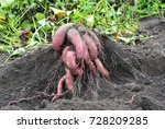 sweet potatoes  yams harvesting.... | Shutterstock . vector #728209285
