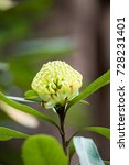 Small photo of Single green waratah flower on a bush with a bush background