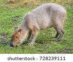 funny capybara eats grass in...   Shutterstock . vector #728239111