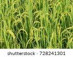 rice field   close up green...   Shutterstock . vector #728241301