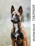 Small photo of Belgian Shepherd dog (Malinois dog)