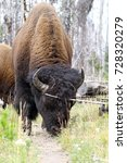 Small photo of Roaming bison (American buffalo) on a hiking trail in the forest. Wildlife shot, Yellowstone National Park, USA.