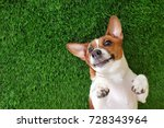 Stock photo crazy smiling dog jack russel terrier lying on green grass happy new year 728343964