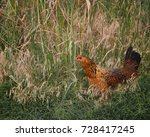 A Hen Nests In The Tall Grass...