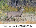 White Tailed Deer Buck...
