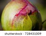 Bud Of Peony Flower Closeup.