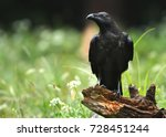 Common Raven  Corvus Corax