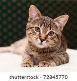 Stock photo tabby cat lies and looks into camera 72845770
