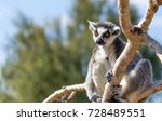 a ring tailed lemur  lemur... | Shutterstock . vector #728489551