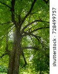 the crown of the  linden  ti... | Shutterstock . vector #728499757