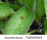 Ladybird Looking Very Small In...