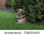 Little Puppy Shetland Shepherd