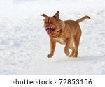 dog of french mastiff breed...   Shutterstock . vector #72853156
