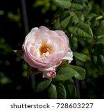 beautiful  heritage rosa... | Shutterstock . vector #728603227