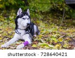 dog is lying with a bandaged... | Shutterstock . vector #728640421