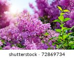 lilac flowers with green leaves ... | Shutterstock . vector #72869734