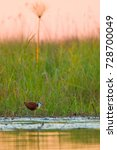 Small photo of African jacana walking on water at sunset, South Africa