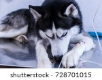 Small photo of Dog is lying with an intravenous drip in his paw and eats pet treat. Siberian husky treated at a veterinary clinic.