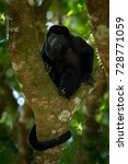 Small photo of Wild Costa Rica. Mantled Howler Monkey Alouatta palliata, nature habitat. Black monkey sitting in forest. Black monkey tree. Animal in Costa Rica national park. Animal in the tropic forest.
