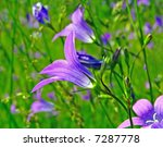 Flower Of The Campanula
