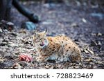 hungry lynx eating piece of... | Shutterstock . vector #728823469