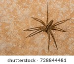 Hairy African Rain Spider On A...