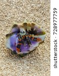 Small photo of Small crustacean crab in a beautiful purple shell on the beaches of Maui.