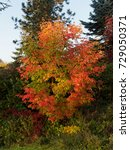 Small photo of Beautiful acer griseum in autumn colors
