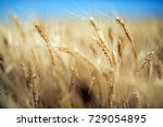 wheat  | Shutterstock . vector #729054895