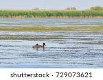 wild ducks on danube delta ... | Shutterstock . vector #729073621