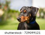 Doberman Puppy.