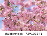apple tree blossoms  | Shutterstock . vector #729101941