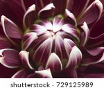 red white colorful dahlia