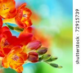 Colorful Fresh Spring Freesia...