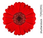 Perfect Red Gerbera Flower...